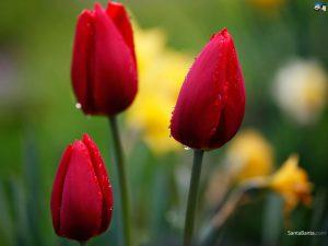 Tulips May 2016