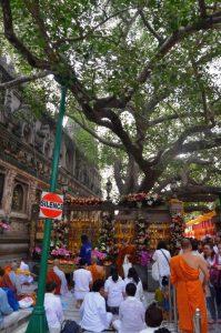Tree in Bodhygaya - AV 2015